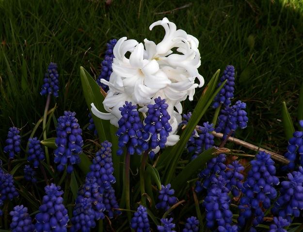 15 april 2010, Blauwe druifjes Witte hyacinth