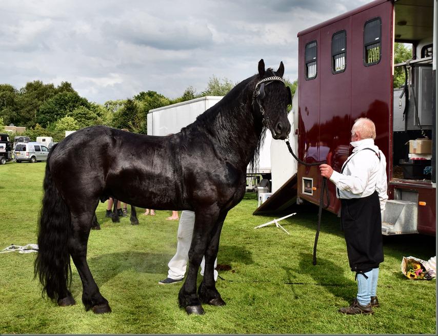 Fries paard, klaar voor vertrek